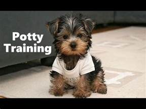 housebreaking a yorkie yorkie puppies potty trained house a terrier housebreaking a