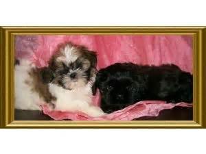 happy grove shih tzu shih tzu puppies for sale