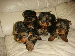 united yorkie rescue san antonio dogs free classified ads