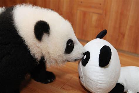 Panda With by Baby Pandas Play With Plush Panda Photos Huffpost