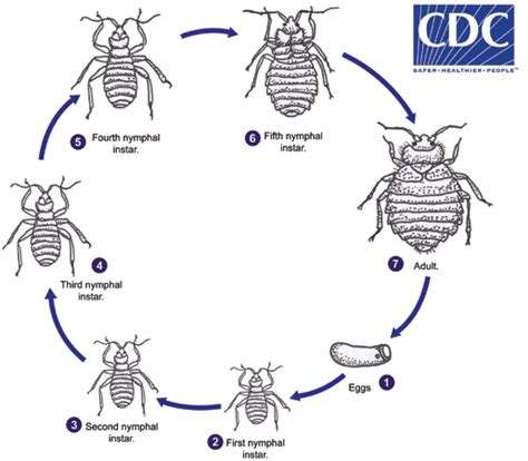 cdc bed bugs cdc dpdx bed bugs
