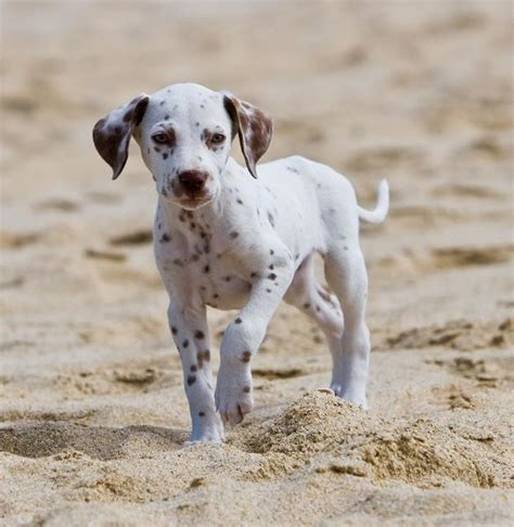 how much do dalmatian puppies cost pretty dalmatian puppy on the jpg hi res 720p hd