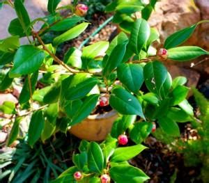 camellia buds ready  burst  bloom pbgardencom
