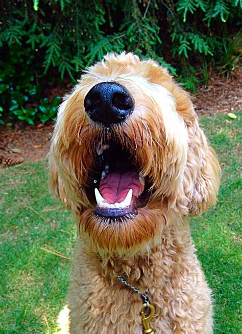 goldendoodle puppy teething 1000 images about doodle on poodles