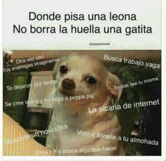 Memes De Chihuahua - 1000 images about