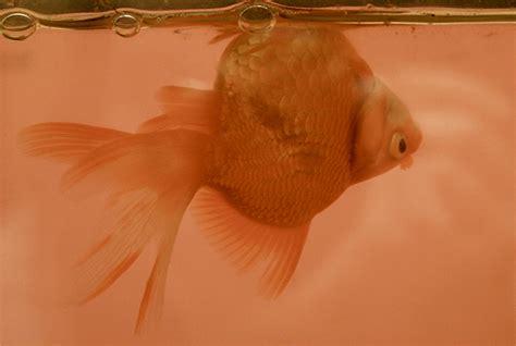 swim bladder disease my aquarium club