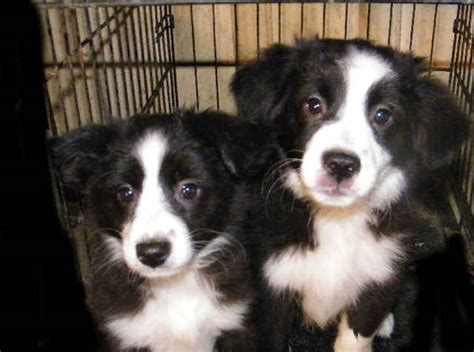 australian shepherd puppies for adoption mini australian shepherd puppies quotes