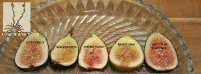 Desert Flowering Plants - civano nursery gt catalog gt plant gt brown turkey fig