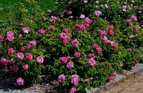 Name Of Climbing Plants - la vie en rose in meilahti green hearts