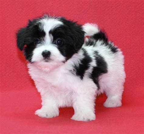 black maltese puppies black and white maltese puppies zoe fans baby animals