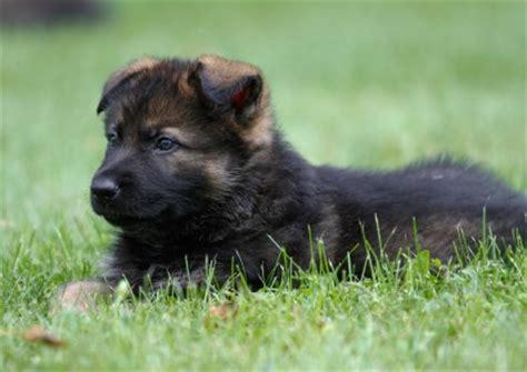 german shepherd puppies st louis german shepherd club st louis dogs in our photo