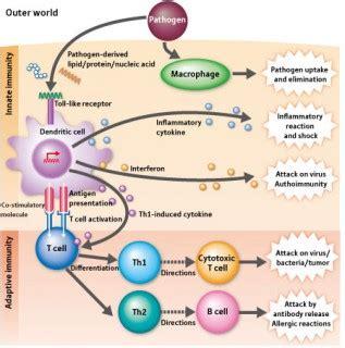 immunology ~ medical student education – tissupath