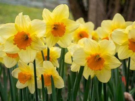 narcissus fortune large cupped daffodil