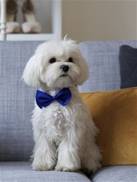 Dog Haircuts Chicago | toby s quot choppy quot haircut havanese haircuts and app