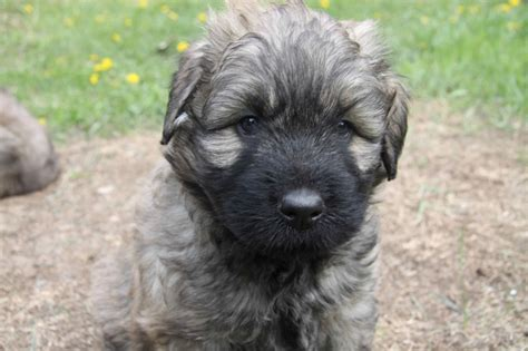 bouvier des flandres puppies bouvier des flandres puppies doglers