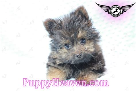 teacup yorkie pomeranian mix for sale teacup porkie puppies for sale in las vegas pomeranian yorkie mix