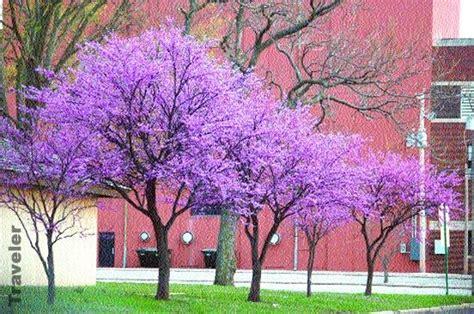 28 best redbud tree growth rate cercis reni oklahoma