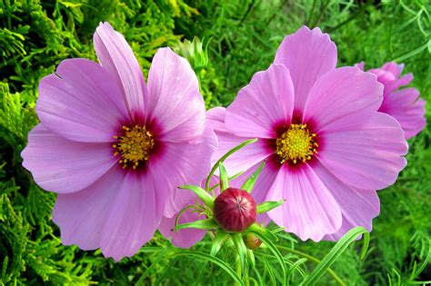 cosmo color picture two pink color flowers cosmos plant closeup flower bud