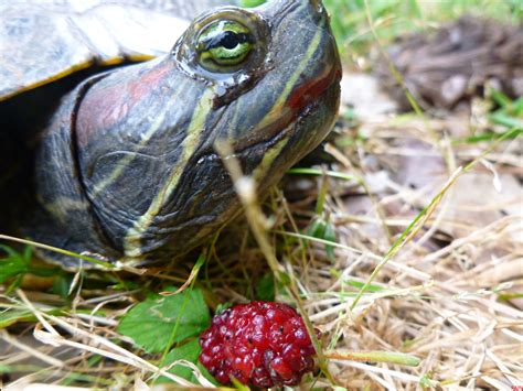 red eared slider eating mulberries life through a raindrop