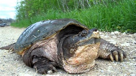 huge texas snapping turtle youtube