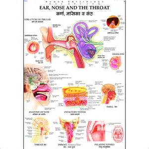 Ear Nose And Throat Ear Nose Throat Ear Nose Throat Exporter