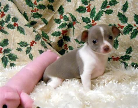 maltese puppies for sale oregon 17 best images about dachshund dogs on miniature hair and minis