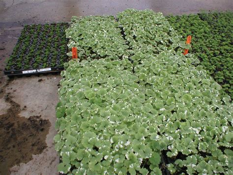 Shade Plants For Window Boxes - variegata creeping charlie glechoma hederacea proven winners
