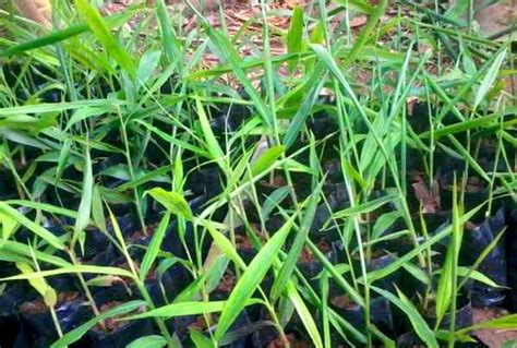 Bibit Jahe Merah Di Indramayu jual bibit jahe di subang jual bibit tanaman