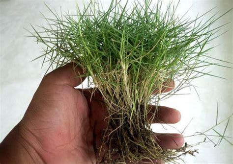 Bibit Rumput Jepang cara menanam rumput jepang dengan benar bibitbunga