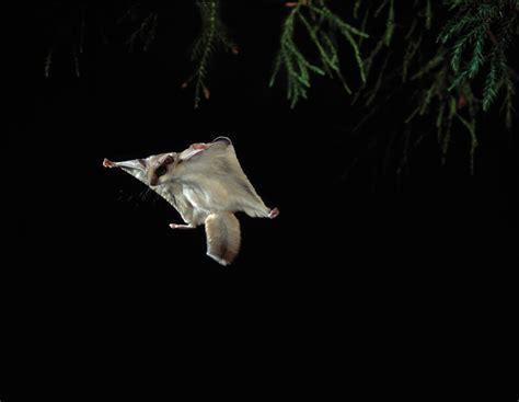 sognare insetti volanti petauro dello zucchero scheda completa velvetpets