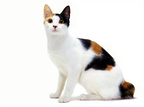 wallpaper japanese cat tricolor japanese bobtail photo and wallpaper beautiful