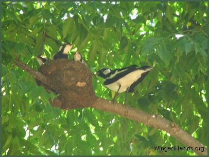 peewees (magpie lark) | wingedhearts.org