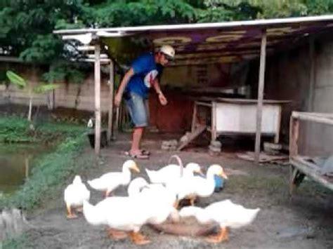 Dod Bebek Hibrida Bogor tips cara ternak bebek peking agar cepat besar untuk pe