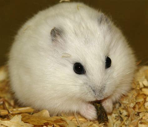 Hamster Syrian Hitam hamster city