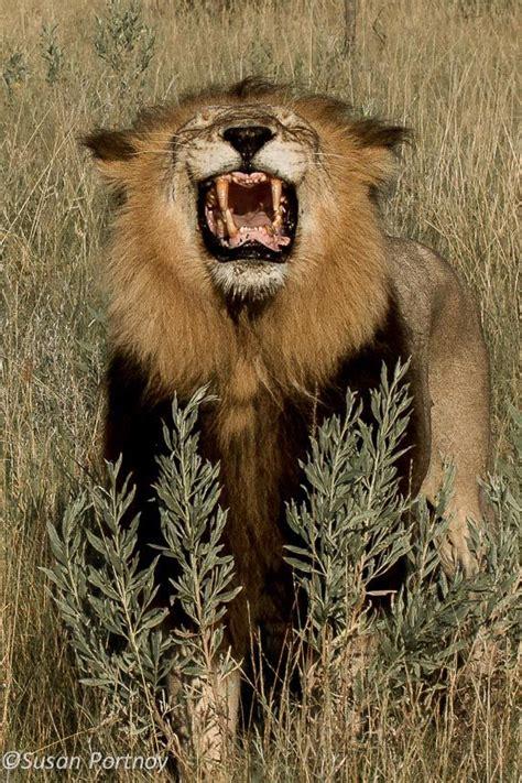Savage Kingdom Sweepstakes - lion yawning chitabe c botswana king lion s life pinterest africa cs