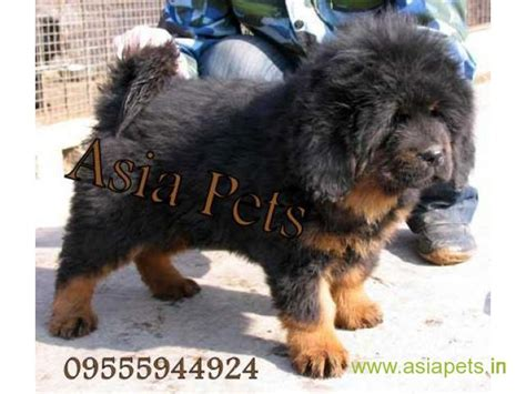 bullmastiff puppies price tibetan mastiff dogs price www imgkid the image kid has it