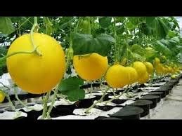 Menanam Lemon Hidroponik | hidroponik archives ilmubudidaya com