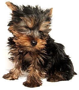 dogs similar to yorkies yorkie barking is your terrier barking breeds picture