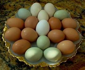 australorp egg color egg colors backyard chickens community
