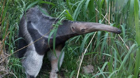 bronx zoo poised  reopen childrens zoo   animals giant anteater pudu
