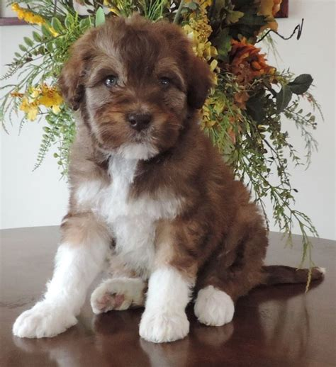bordoodle puppies 1000 ideas about labradoodle puppies for sale on labradoodle puppies