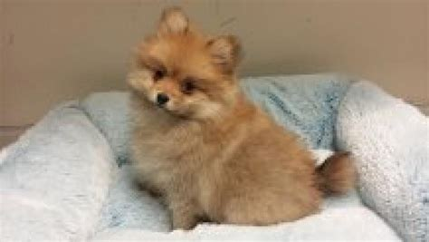 pomeranian pet store pomeranian your pet store in newmarket