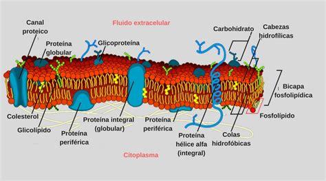 partes de la membrana celular significado de membrana celular qu 233 es concepto y