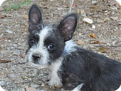 boston terrier and yorkie mix bugsy adopted puppy bedminster nj boston terrier maltese mix