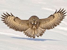 coolest owl spreads its arctic wings uk news express