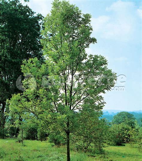 tree in fresno fraxinus velutina fresno de arizona