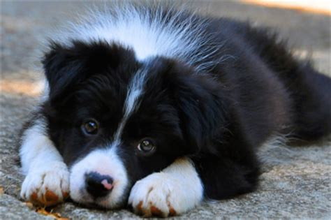 Border Collie Also Search For Puppy Pictures Dr Border Collie Puppy Pictures Collie And