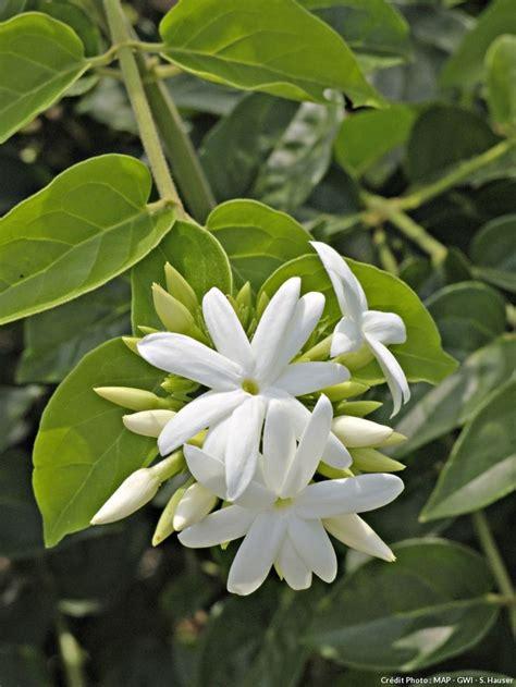 44169 White Flowers by Les 29 Meilleures Images Du Tableau Fleurs Blanches