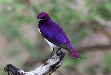 Bird Purple by Photo Link