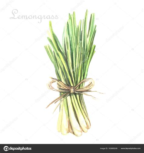 lemongrass color colore acquerello citronella foto stock 169 ann art 163669248